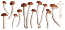 Honey mushrooms (fungi) isolated on white background. Collection with clipping path.