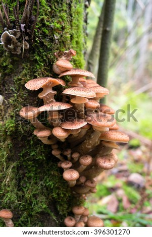 honey mushrooms growing at tree by a group #396301270
