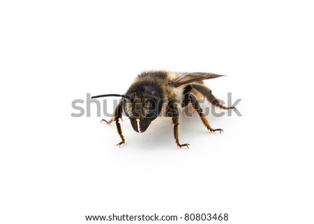 Honeybee against a white background