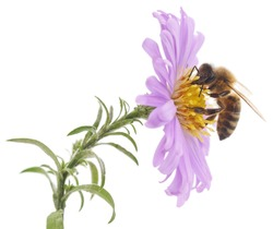 Honeybee and blue flower head isolated on a white background