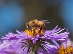 Honeybee (Apis mellifera) gathering nectar and pollen from a purple aster flower