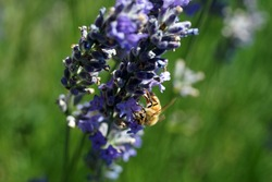 Honeybee collecting pollen from lavender in bloom, Seattle garden,Pacific Northwest