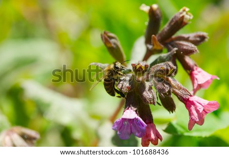 Honeybee collecting pollen from Lungwort flowers in the Spring.