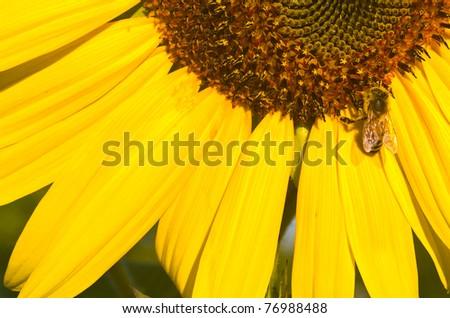Honeybee Covered in Pollen in a Sunflower