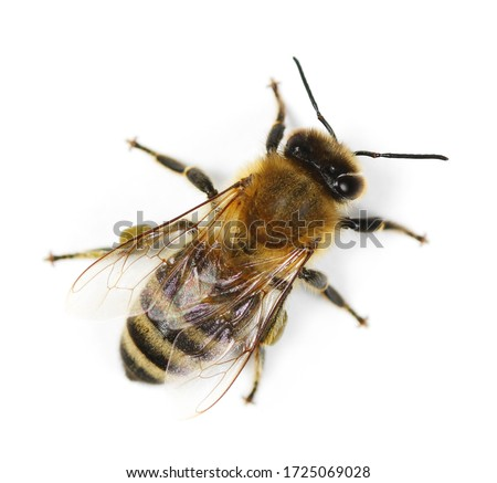 Honeybee isolated on white background, top view