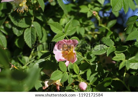 Honeybee Latin apis mellifera collecting pollen on a dog rose or wild rose Latin rosa canina in Italy similar to a sweet briar or eglantine state flower or state symbol of Iowa and North Dakota #1192172584