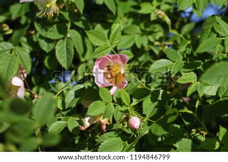 Honeybee Latin apis mellifera collecting pollen on a dog rose or wild rose Latin rosa canina in Italy similar to a sweet briar or eglantine state flower or state symbol of Iowa and North Dakota #1194846799