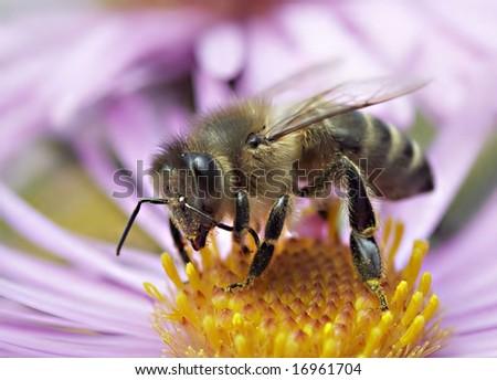 honeybee on a autumn flower