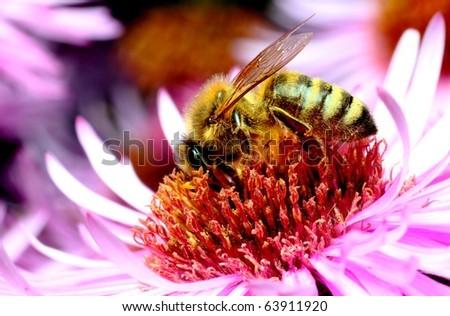 honeybee on autumn flower - stock photo