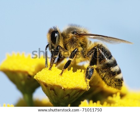 honeybee pollinated of yellow flower - stock photo
