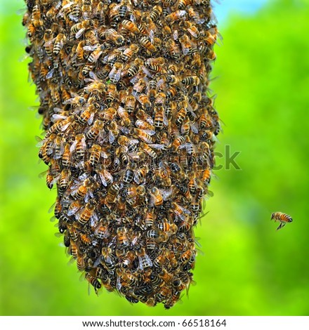 Honeybee Swarm (Apis mellifera). The bottom section of a honeybee swarm.