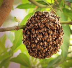 Honeybee swarm hanging at mango tree in nature.