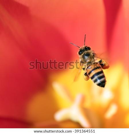 Honeybee with pollen basket flying over red tulip flower #391364551