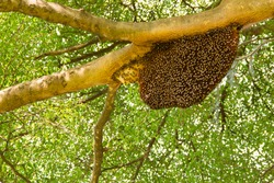 Honeycomb hanging on the tree