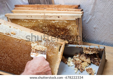 Honeycomb will open unwaxing fork beekeeper uncapped for harvest golden delicious honey. Close up #678222334
