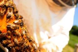 Honeycomb with western honey bees or European honey bee (Apis mellifera)