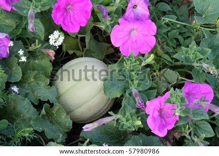 honeydew melon ripening in a mixed planting bed with