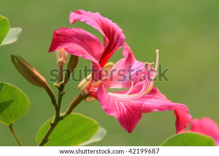 stock photo : Hong Kong Orchid flower in blossom