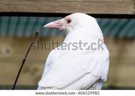 Shutterstock Hooded crow (albino)  closeup with vegetation
