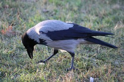 Hooded crow (Corvus cornix) is looking for nuts on the park lawn. Bird in the park in autumn season.