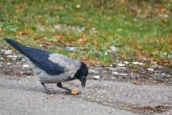 Hooded Crow (Corvus cornix) shell nut on the pavement. Hooded Crow is a Eurasian bird species in the crow genus. Lithuania.