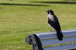 Hooded Crow (Corvus cornix) standing on bench in city park, in Tallinn, Estonia.
