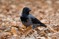 Hooded crow or grey crow (Corvus cornix) bird standing on a fallen autumn leaves covered ground.