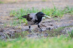 Hooded crow stands in a puddle and holds plastic debris in its beak. Plastic contamination of the environment is harmful to birds.