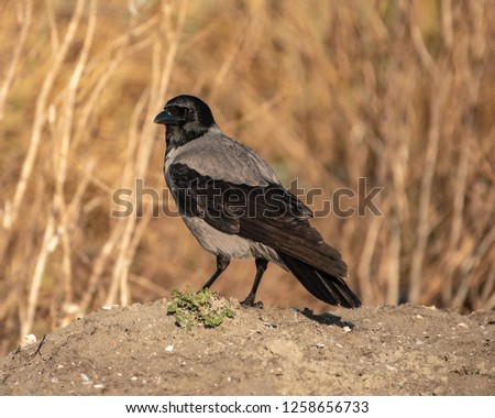 Hooded Crow Stands on Ground #1258656733
