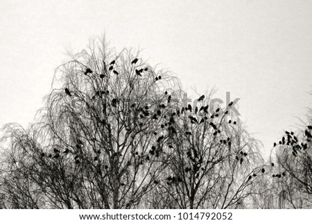 Shutterstock Hooded crows gathered overnight in city Park at winter. Public roosting birds, multitude of birds cluster of black birds. Retro style
