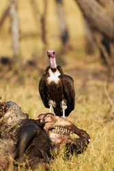 Hooded Vulture (Necrosyrtes monachus), at the carcass of a Cape Buffalo (Syncerus caffer caffer) Savuti, Chobe National Park, Botswana