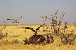 Hooded Vulture (Necrosyrtes monachus) with pink head and White-backed Vultures (Gyps africanus), at the carcass of a Cape Buffalo (Syncerus caffer caffer), Savuti, Chobe National Park, Botswana