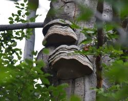 Hoof fungus (Fomes fomentarius) fruiting bodies growing on a beech tree.