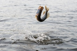 Hooked pike is fighting for freedom, fast motion, some blur