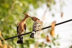 hoopoe birds sharing food worm