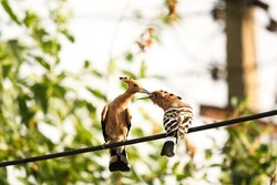 Hoopoe birds sitting on the wire sharing food in the beak mother-child love relation