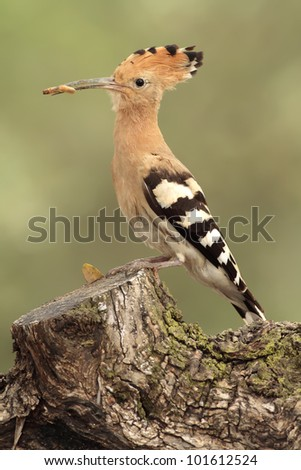 Hoopoe in the trunk - stock photo