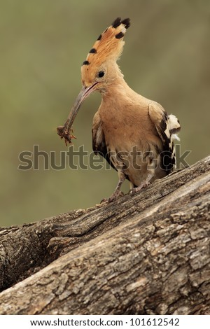 Hoopoe in the trunk