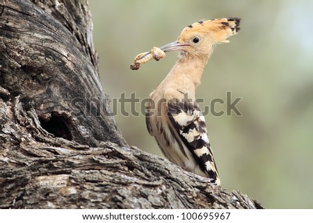 Hoopoe in their nest