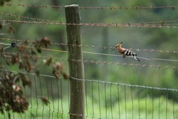 Hoopoe sitting on the barbwire fence in the game reserve, park