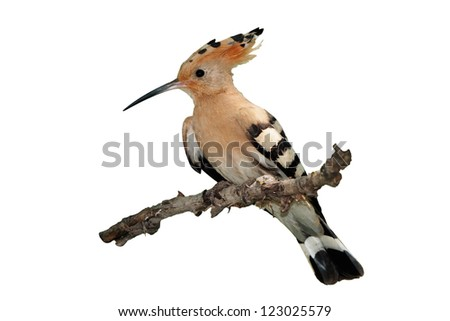 Hoopoe (Upupa epops) isolated on white background