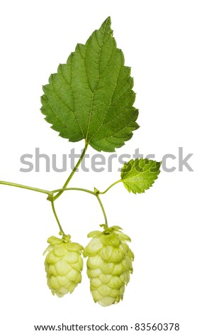 hop branch isolated on white