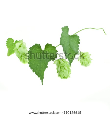 Hop cones and leaves isolated on white background