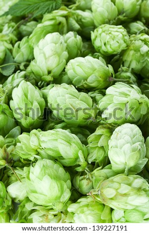 Hop cones as a green background.