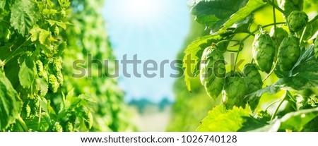 hop field, blue sky and Sun, banner