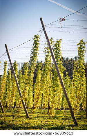 Hop Field in Autumn, Austria