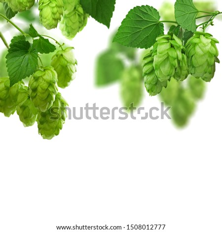 Hop plant. Hop over white background. Twigs of Hop with cones and green leaves . Brewing. Backdrop of Beer production ingredient.Fresh-picked whole hops art frame design. Brewing concept wallpaper.