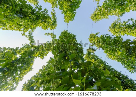 Hop twigs on blue sky. Green fresh Hop plants growing in world's largest area of hops agriculture, Bavaria Germany. Hops cones in summer harveting time