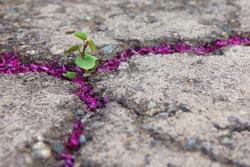 Hope of life, overcome challenges, new life concept with seedling (Judas tree) growing sprout on the cracked ground filled with purple Judas tree blossoms, in botanical garden. Tehran, Iran.