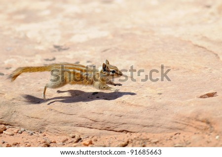Hopi Chipmunk in Canyonlands national park, Utah USA